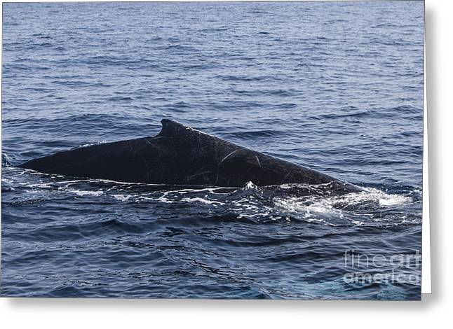 A Humpback Whale Surfaces To Breathe Greeting Card