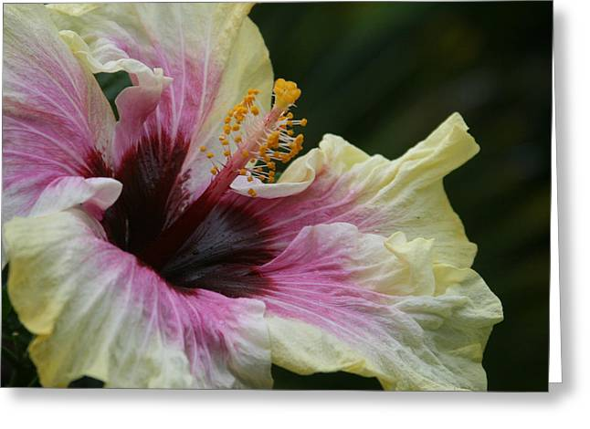 Ourjrny Greeting Cards - Aloha Aloalo Tropical Hibiscus Haiku Maui Hawaii Greeting Card by Sharon Mau