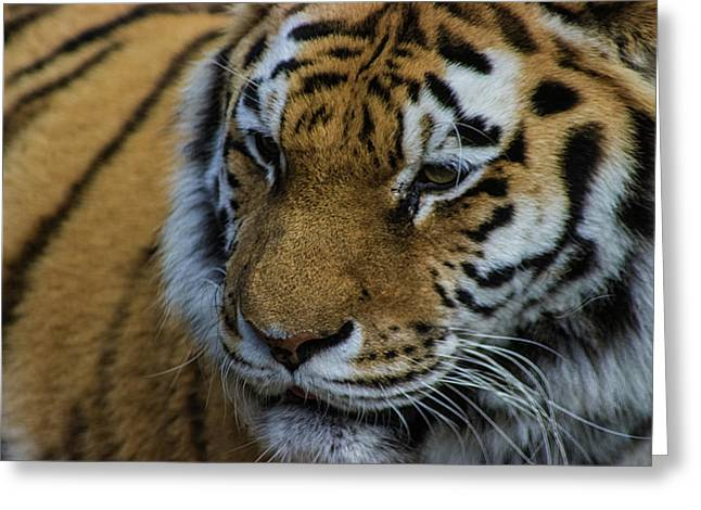 Amur Tiger Greeting Card by Martin Newman