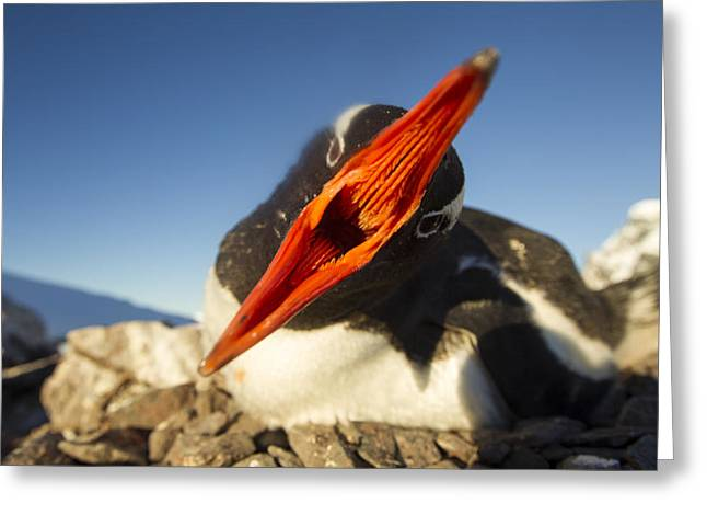 Antarctica, Petermann Island, Gentoo Greeting Card by Paul Souders