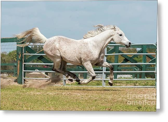 Arabian Horse Running Greeting Card