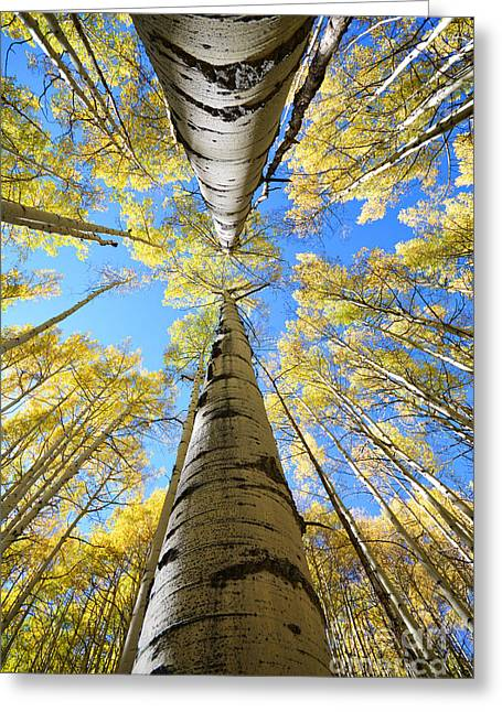 Aspens In The Fall Greeting Card