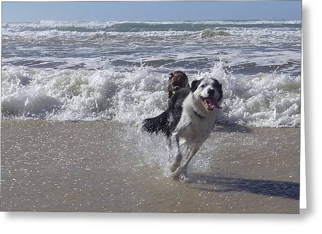 Australia - Border Collie Runs Out Of The Surf Greeting Card