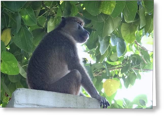 Baboon Sits Guard  Greeting Card
