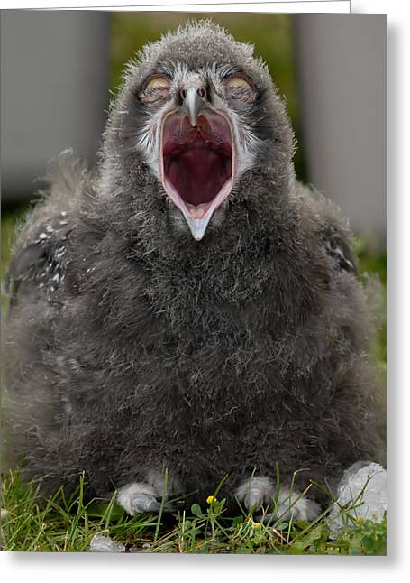 Greeting Card featuring the photograph Baby Snowy Owl by JT Lewis