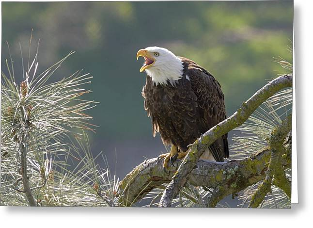 Bald Eagle Greeting Card by Doug Herr