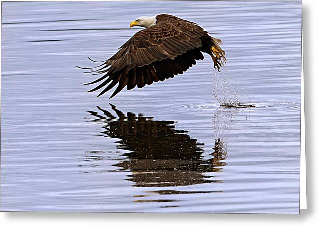 Bald Eagle Flying Greeting Card by Ed Book