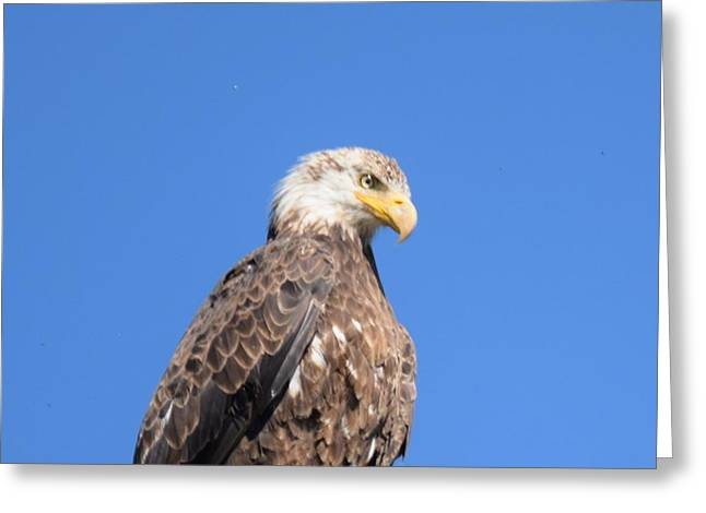 Bald Eagle Juvenile Perched Greeting Card
