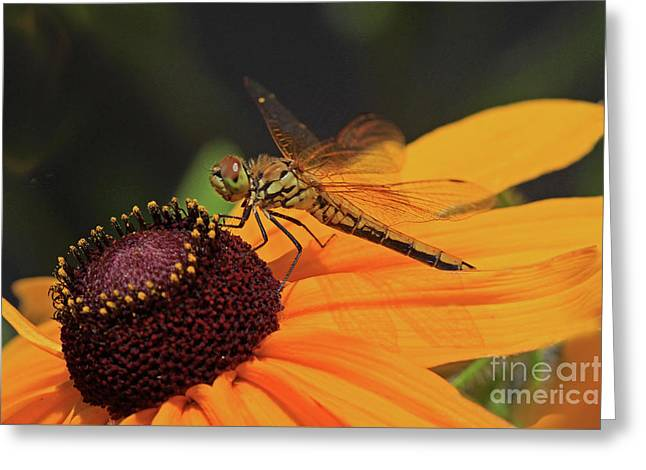 Band-winged Meadowhawk Greeting Card by Gary Wing