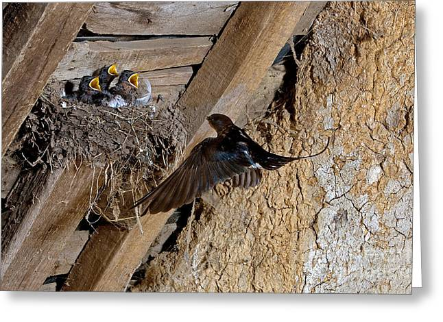 Barn Swallow Hirundo Rustica Greeting Card by Gerard Lacz