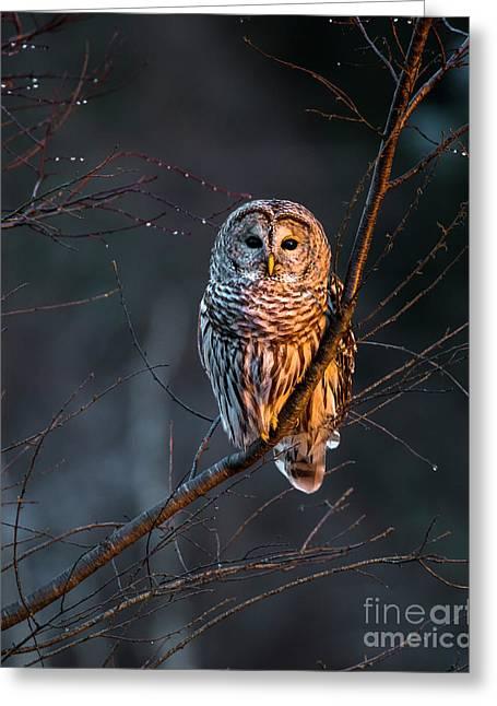 Barred Owl Tall Greeting Card by Benjamin Williamson