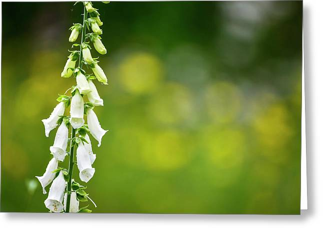 Beautiful Summer Garden Landscape With Beautiful Foxgloves In Fo Greeting Card