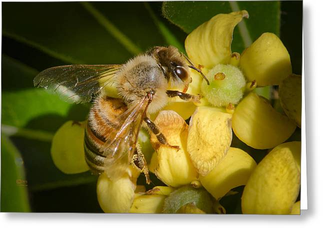 Bees Gathering From Pittosporum Flowers Greeting Card