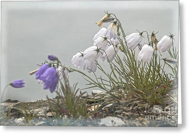 Greeting Card featuring the photograph Bellflower by Heiko Koehrer-Wagner