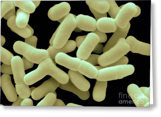 Bifidobacterium Bifidum Greeting Card by Scimat