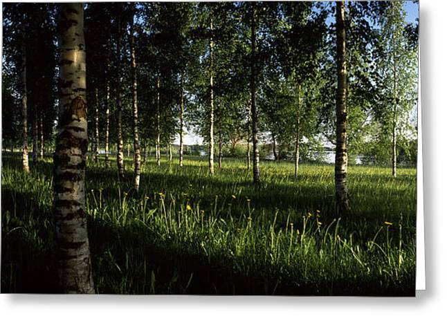 Birch Trees, Imatra, Finland Greeting Card by Panoramic Images