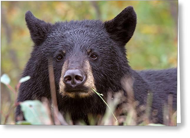 Black Bear Along British Columbia Highway Greeting Card