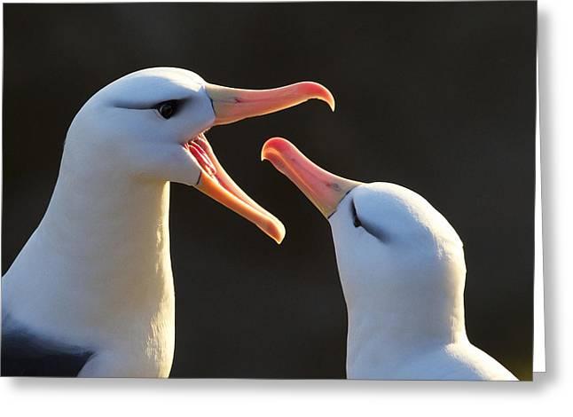 Black-browed Albatross Couple Greeting Card by Jean-Louis Klein & Marie-Luce Hubert