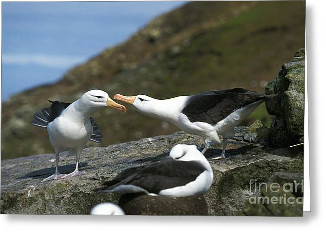 Black-browed Albatross Diomedea Greeting Card by Gerard Lacz
