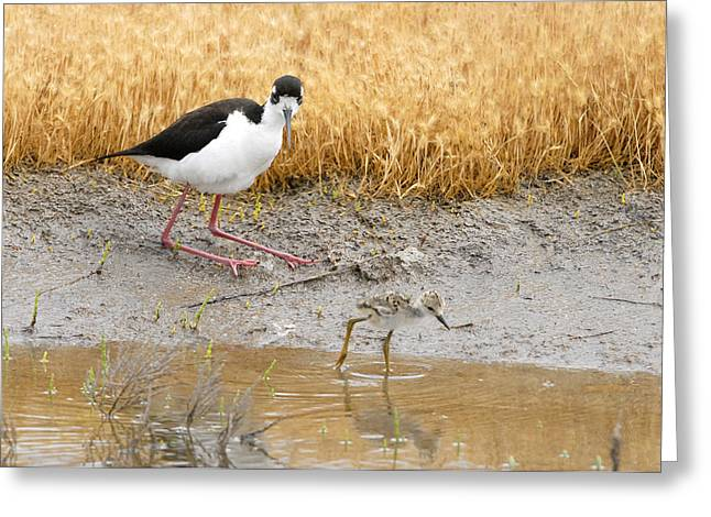Black Necked Stilt With Chick Greeting Card by Dennis Hammer