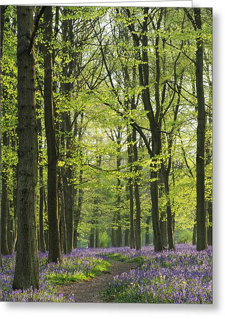 Bluebell Wood Greeting Card by Liz Pinchen
