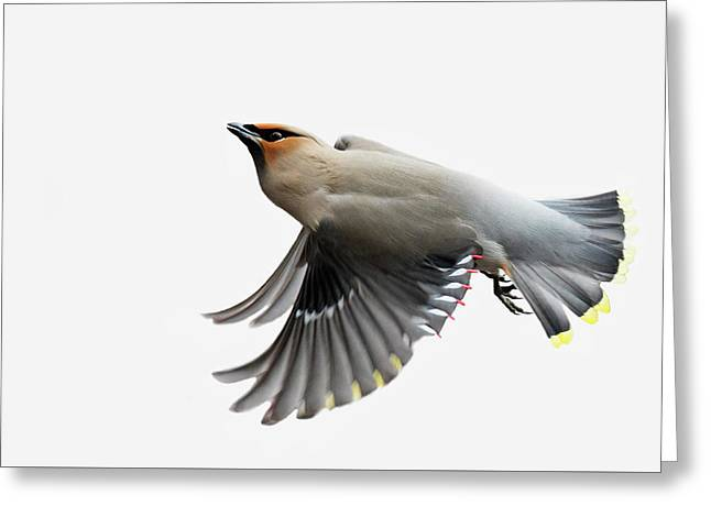 Greeting Card featuring the photograph Bohemian Waxwing  by Mircea Costina Photography