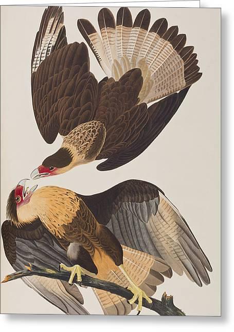 Brasilian Caracara Eagle Greeting Card by John James Audubon