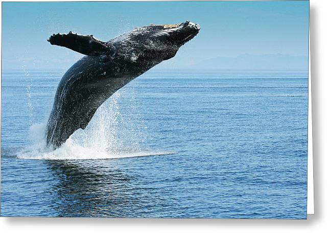 Breaching Humpback Whales Happy-1 Greeting Card