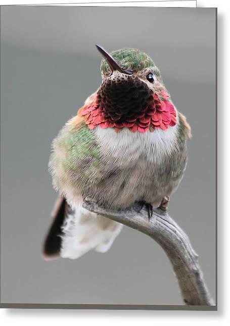 Broad-tailed Hummingbird Greeting Card