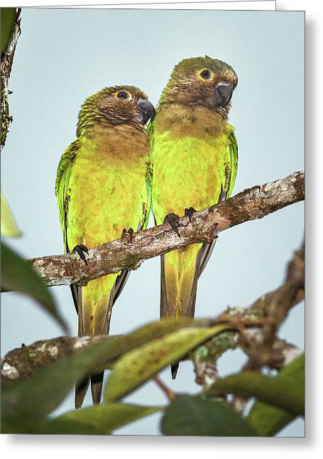 Brown Throated Parakeets La Macarena Colombia Greeting Card