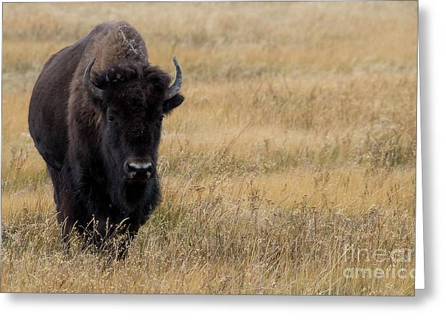 Buffalo Greeting Card by Juli Scalzi
