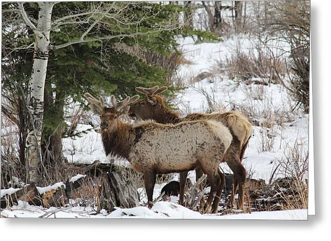 2 Bull Elk In May Snowstorm Greeting Card