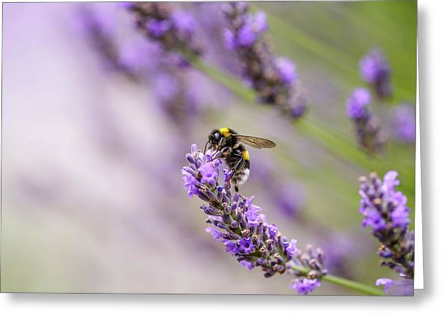 Bumblebee And Lavender Greeting Card