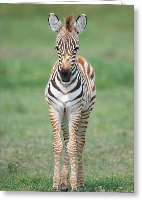 Burchells Zebra Equus Quagga Burchellii Greeting Card by Panoramic Images
