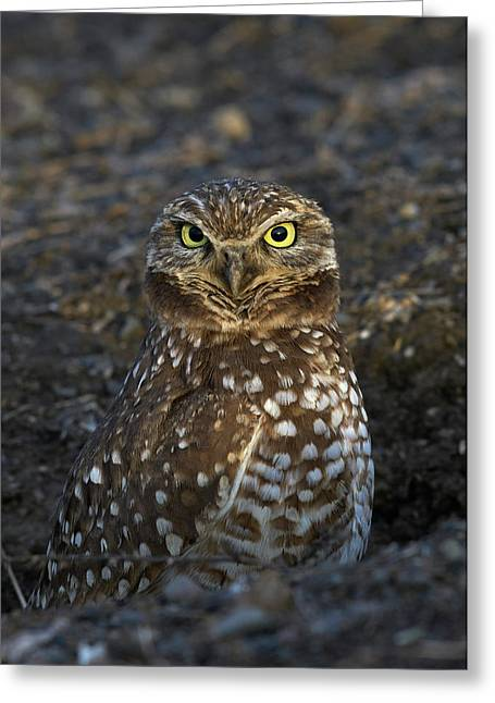 Burrowing Owl Greeting Card by Doug Herr