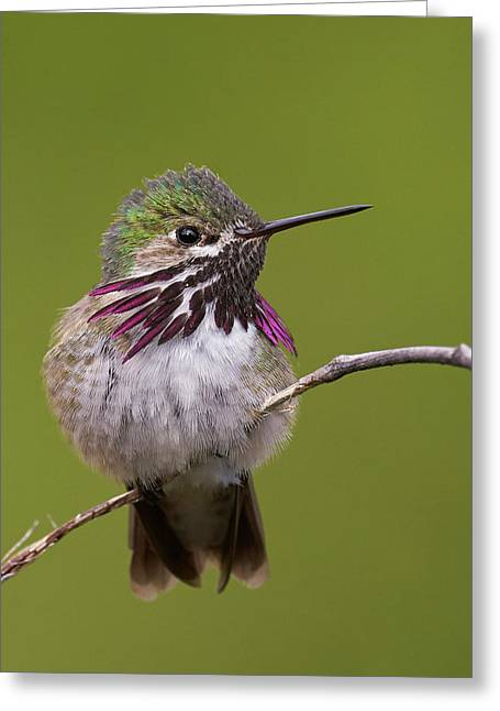 Calliope Hummingbird Greeting Card