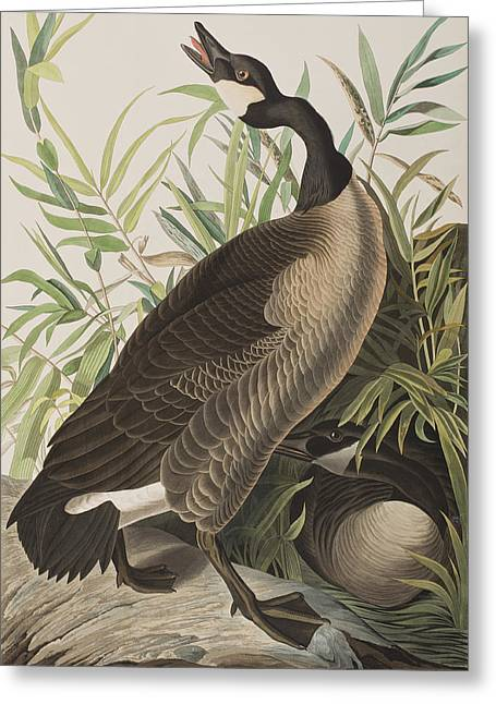 Canada Goose Greeting Card by John James Audubon