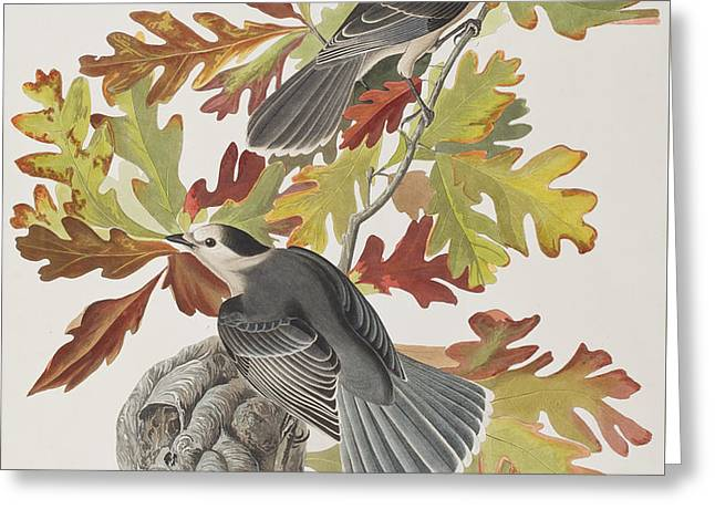 Canada Jay Greeting Card by John James Audubon