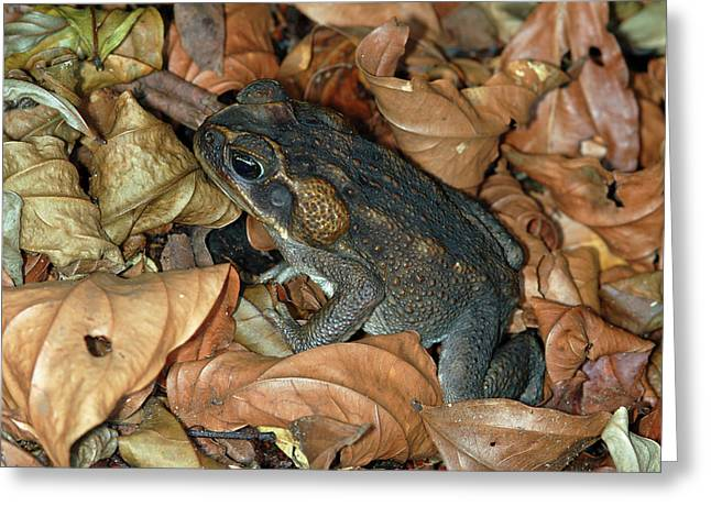 Greeting Card featuring the photograph Cane Toad by Breck Bartholomew