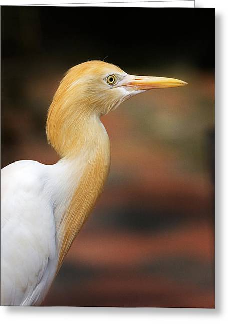 Cattle Egret Greeting Cards - Cattle Egret Greeting Card by Louise Heusinkveld