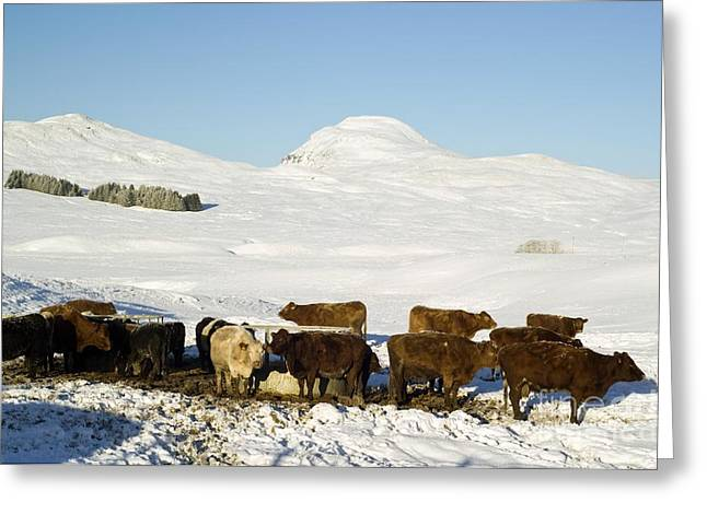 Cattle In The Scottish Highlands Greeting Card by Duncan Shaw