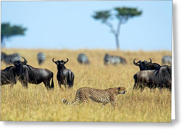 Cheetah Acinonyx Jubatus Chasing Greeting Card by Panoramic Images