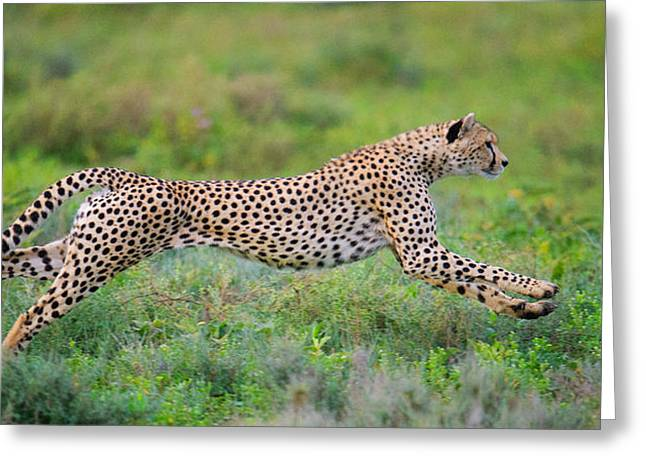 Cheetah Acinonyx Jubatus Hunting Greeting Card by Panoramic Images