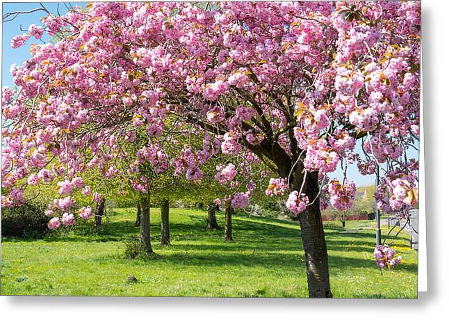 Cherry Blossom Tree Greeting Card by Colin Rayner