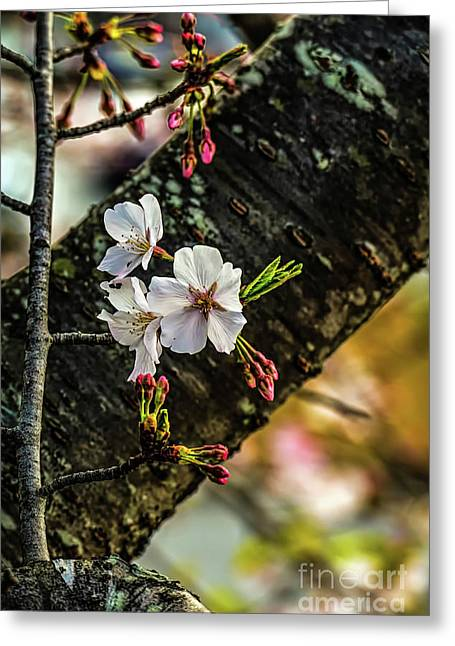 Cherry Tree Blossoms Greeting Card by Elijah Knight