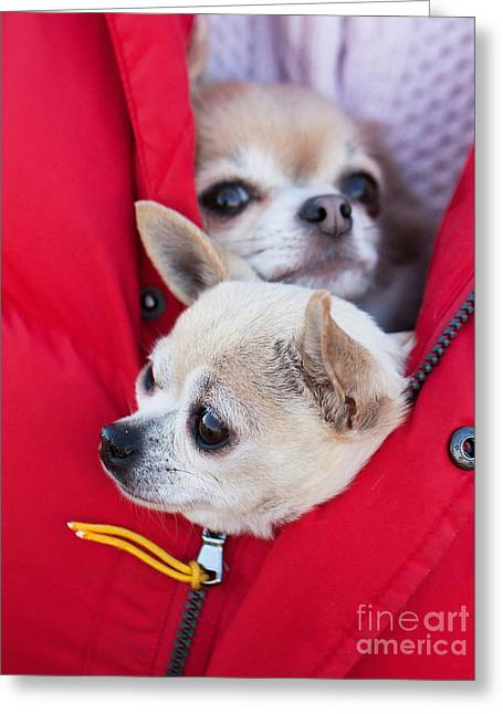 Chihuahua Greeting Card by Allan Wallberg