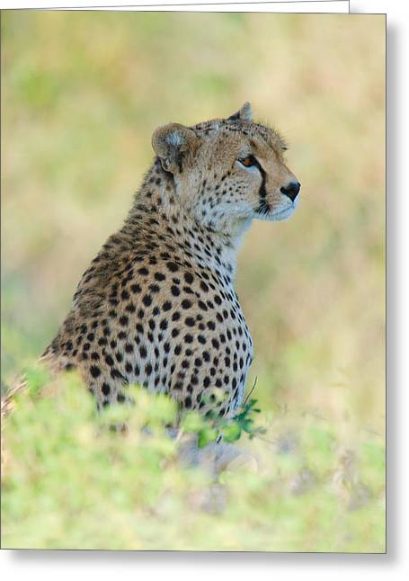 Close-up Of Cheetah Acinonyx Jubatus Greeting Card by Panoramic Images
