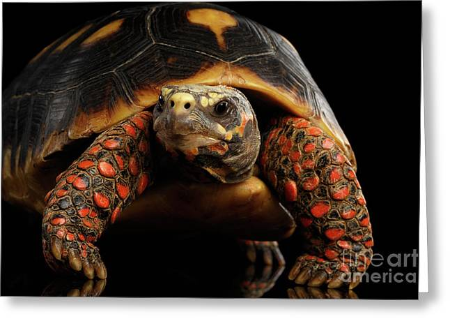 Close-up Of Red-footed Tortoises, Chelonoidis Carbonaria, Isolated Black Background Greeting Card