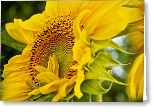 Close-up Of Sunflowers Greeting Card by Panoramic Images