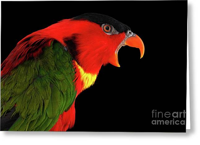 Close-up Yellow-bibbed Lory, Lorius Chlorocercus, Isolated On Black Background Greeting Card by Sergey Taran
